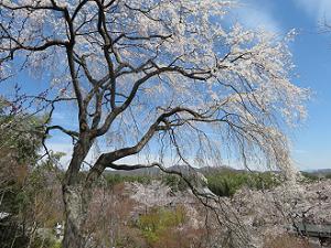 枝垂れ桜と青空