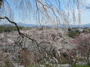 見下ろす満開の枝垂れ桜