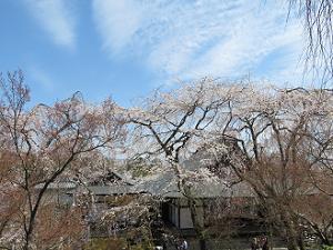 青空と枝垂れ桜と多宝殿