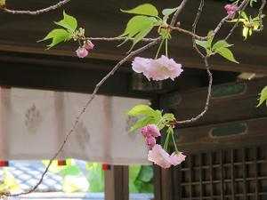 咲き始めの松月桜