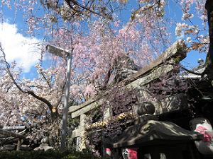 八重紅枝垂れ桜と鳥居