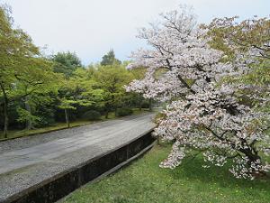 遅咲きの桜と新緑