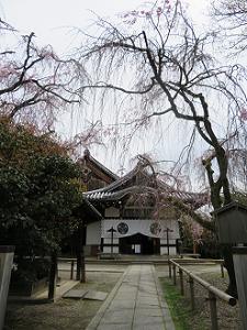 八重紅枝垂れ桜と本堂