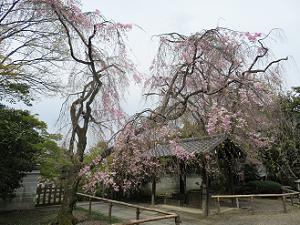 見ごろ過ぎの八重紅枝垂れ桜