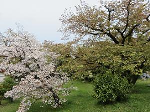 満開の遅咲きの桜と花が散ったヤマザクラ