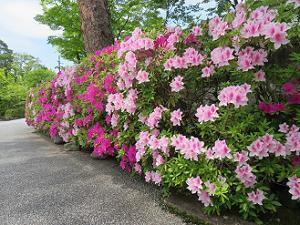 きれいに咲くツツジ