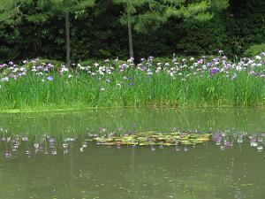 白虎池とハナショウブ
