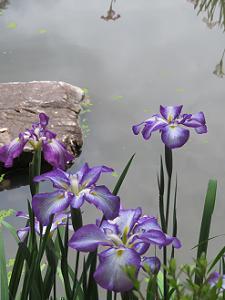 紫色のハナショウブ