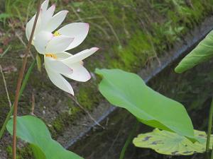 横から見たハスの花