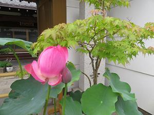 大行寺のハス