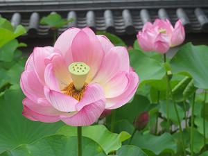 きれいに咲くハスの花