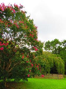 サルスベリと出水の枝垂れ桜