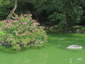 九条池とサルスベリ