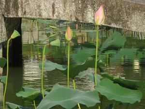放生池のハス