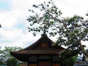 拝殿と白色のサルスベリ