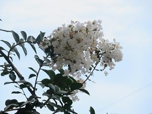 見上げる白色のサルスベリ