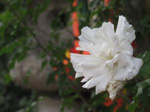 白祇園守のアップ