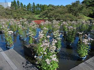 フジバカマと庭園の木々