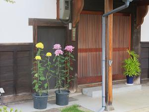 寺務所前の菊