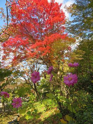 紅葉とコスモス