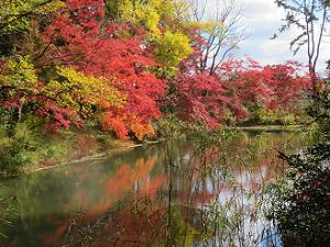 池のほとりで色づくカエデの並木