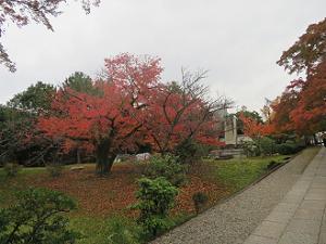 ヤマザクラの紅葉