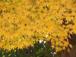 黄色いモミジ