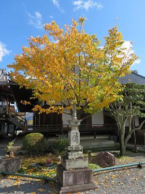 黄葉する蜂須賀桜