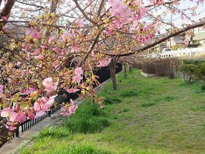 淀水路の咲き始めの河津桜