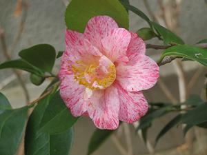 ピンク色の椿