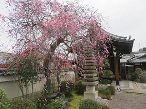 見ごろの枝垂れ梅