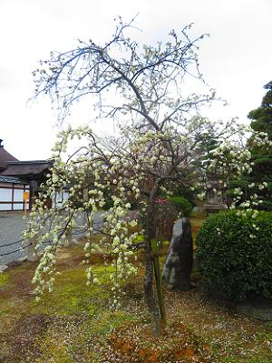 白色の枝垂れ梅