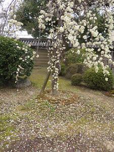 苔に散る梅の花