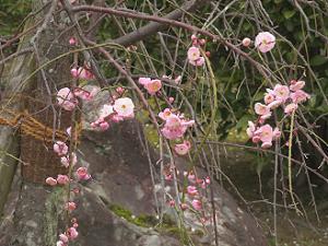 赤色の枝垂れ梅