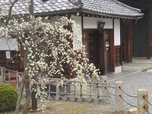 枝垂れ梅と休憩所