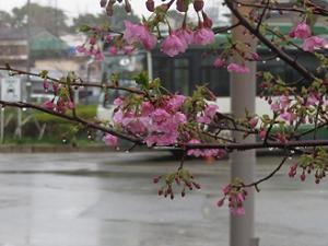 雨にぬれる河津桜