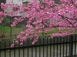 河津桜の枝先