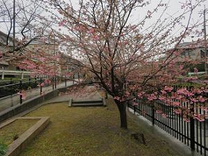 咲き始めたばかりの河津桜