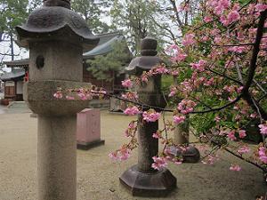 河津桜と灯籠