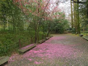 散りゆく陽光桜