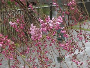 咲き始めた八重紅枝垂れ桜