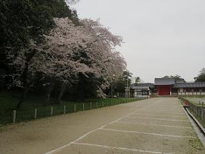 頓宮付近の桜
