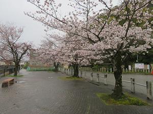 安居橋付近の桜
