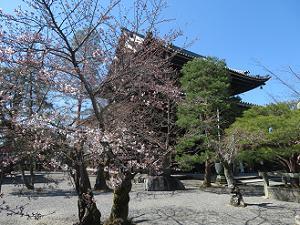 阿弥陀堂付近のソメイヨシノ