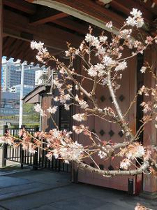 桃桜と川端門