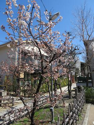 散り始めの桃桜