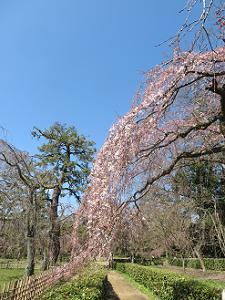3分咲きの糸桜