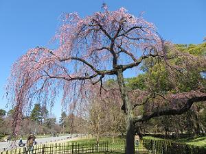 見上げる出水の枝垂れ桜