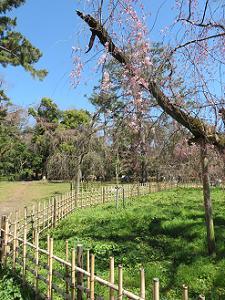 糸桜の枝先