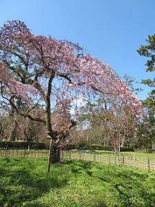 芝生と糸桜